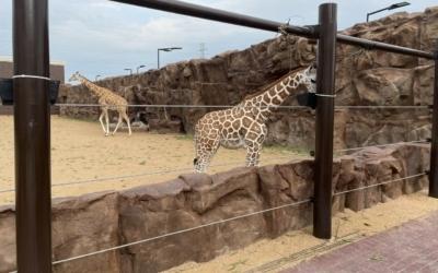 Giraffes' new enclosure is complete at Club Westside